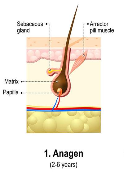 De Drie Fases Van de Haargroeicyclus - Anagene Fase