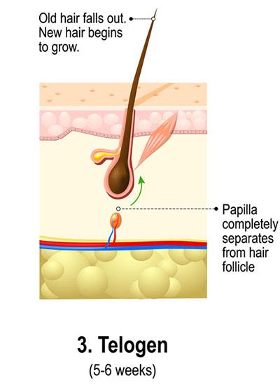 De Drie Fases Van de Haargroeicyclus - Telogene Fase